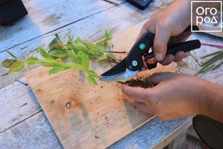 Как размножить сливу: лучшие способы выращивания, ухода и посадки своими руками. видео инструкция и 120 фото