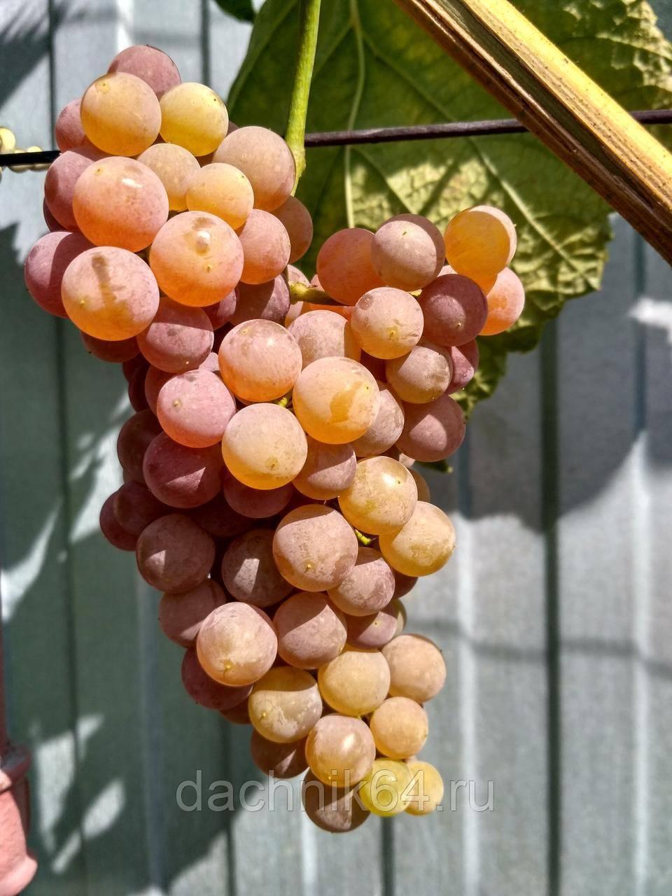 Виноград «рилайнс пинк сидлис»: описание сорта и особенности ухода