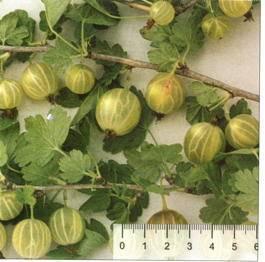 Крыжовник сорт ксения (xenia): описание, фото, отзывы