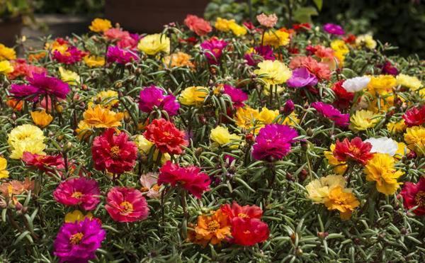 Портулак из семян: особенности выращивания в домашних условиях