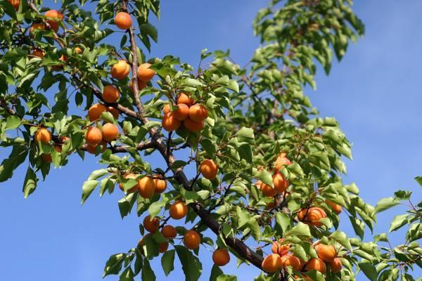 Описание сорта абрикоса ульянихинский, правила его выращивания