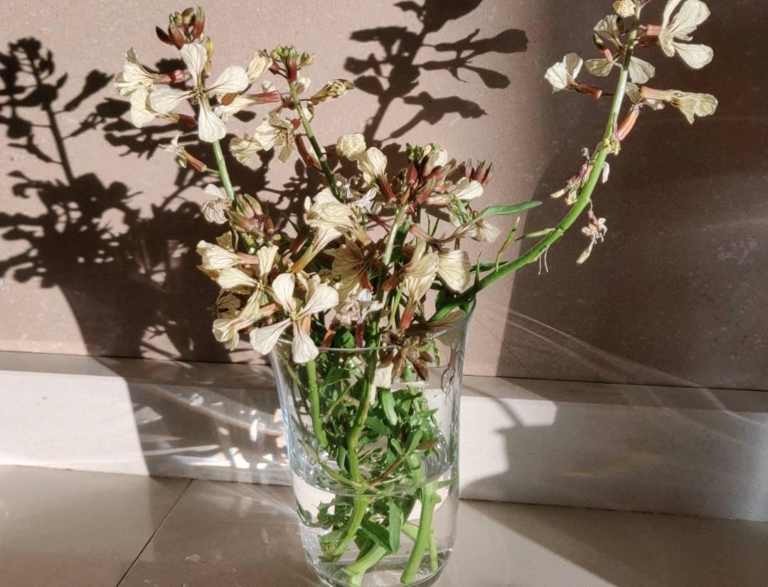 Одуванчик - род taraxacum - галерея видов - плантариум