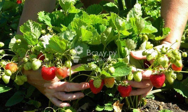 Выращиваем клубнику лорд на своем участке - общая информация - 2020