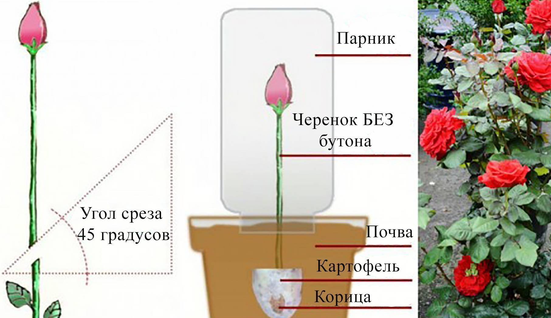 Как укоренить розу из букета в домашних условиях зимой