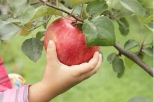 Характеристика и описание сорта яблони конфетная