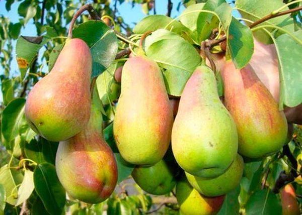 Удивительный вкусом и формой сорт груши талгарская красавица
