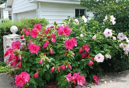Как выращивать гибискус садовый в условиях средней полосы