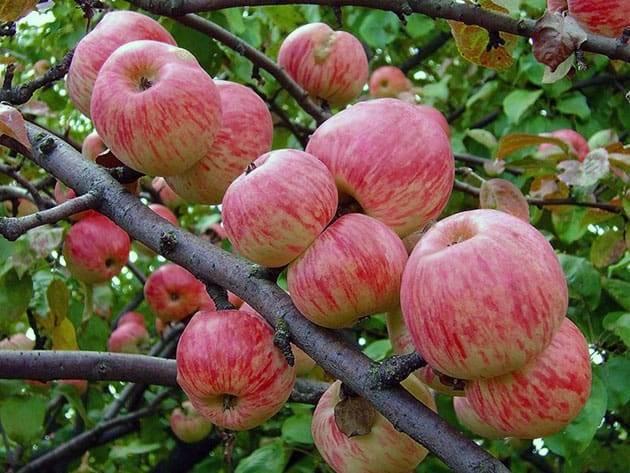 Характеристика и особенности выращивания яблони сорта апрельское
