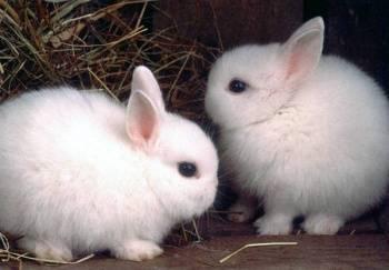 Об ангорском кролике: внешний вид и описание декоративной ангоры, уход и гигиена
