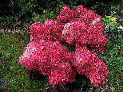 Гортензия метельчатая вимс ред hydrangea paniculata «wims red»