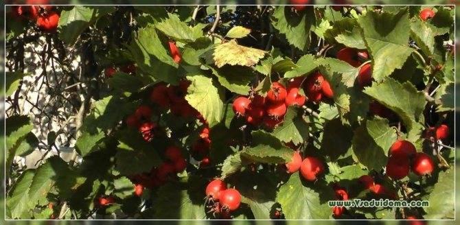 Боярышник: описание и агротехника выращивания