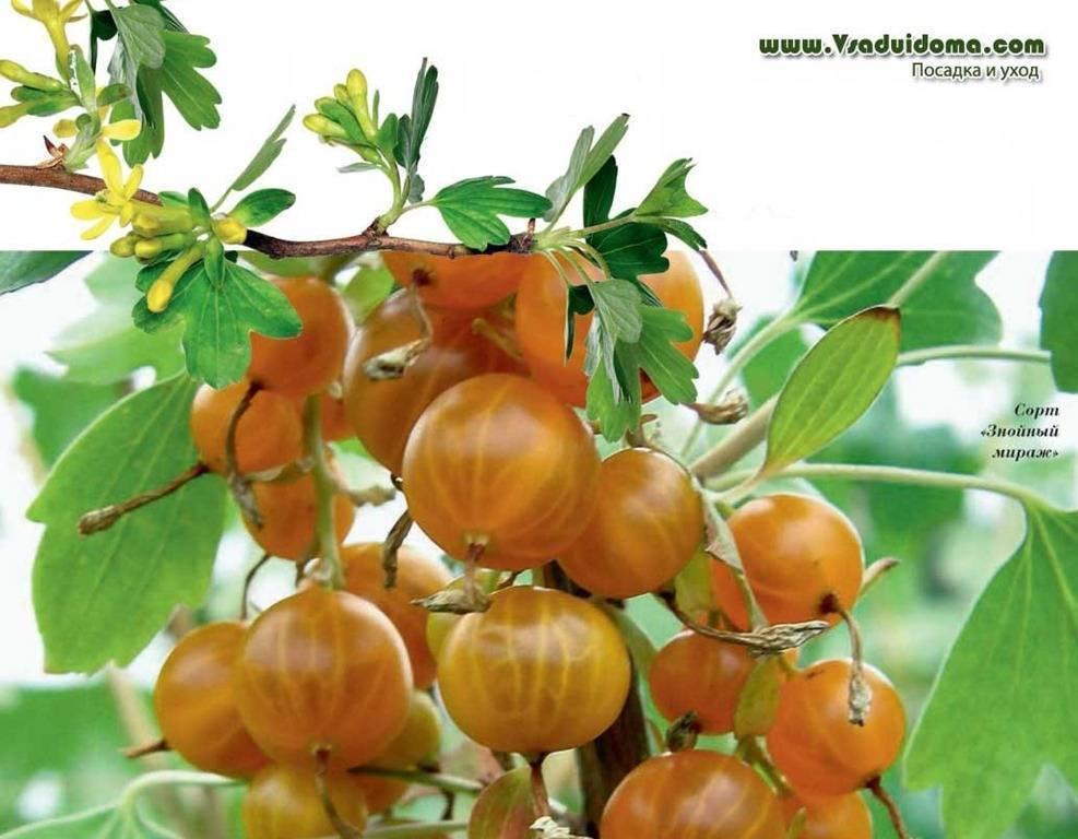Сорта смородины: список лучших сортов с описание и фото