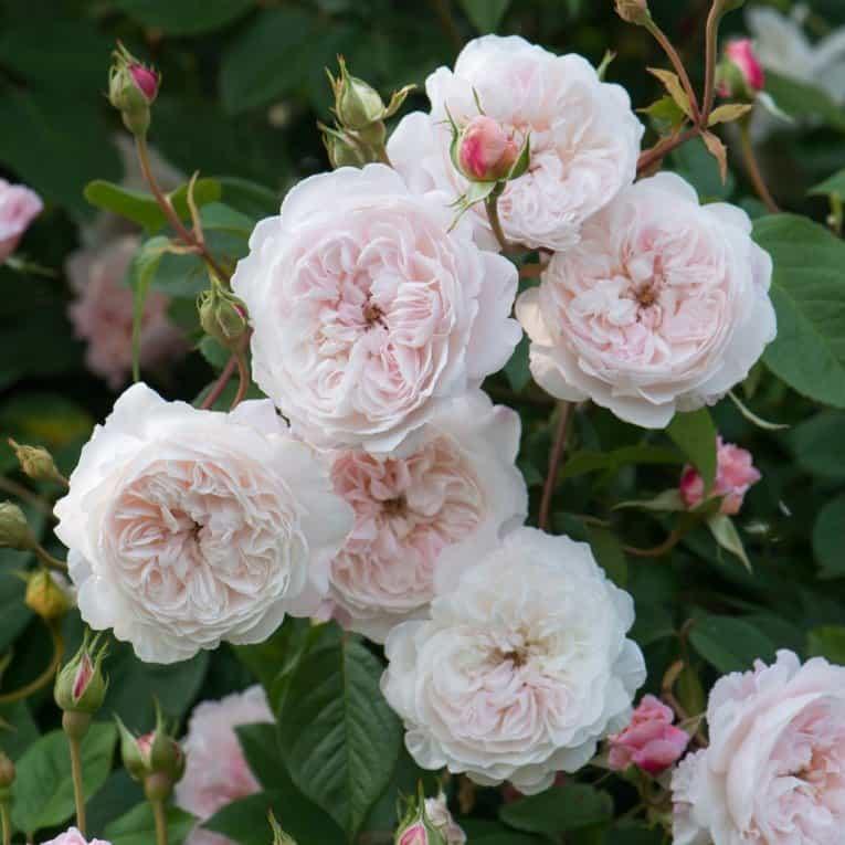 Роза плетистая рамблер сорта