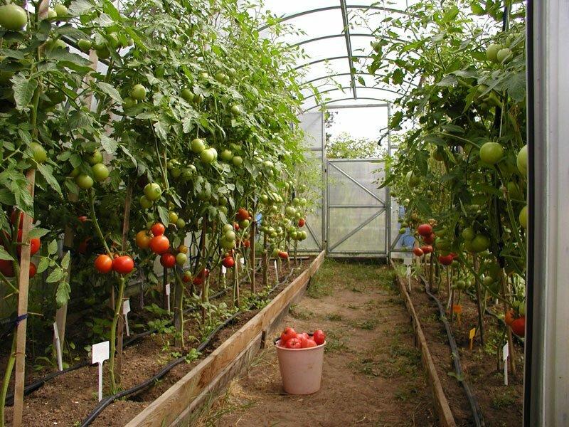 опухоль при как правильно разместить помидоры в теплице фото улице марата гулял