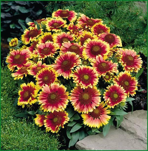 Гайлардия (53 фото): посадка цветов в открытом грунте и уход, гайлардия красивая и остистая, гибридная и крупноцветковая, выращивание из семян