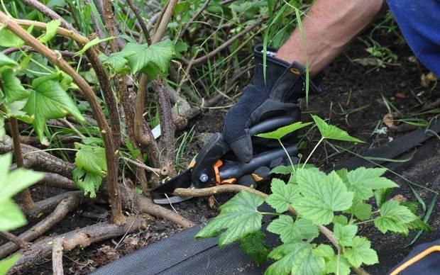 Как размножить смородину черенками: выращивание посадочного материала