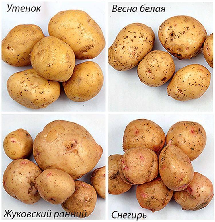 Элитные сорта картофеля. почему лучше покупать именно их?