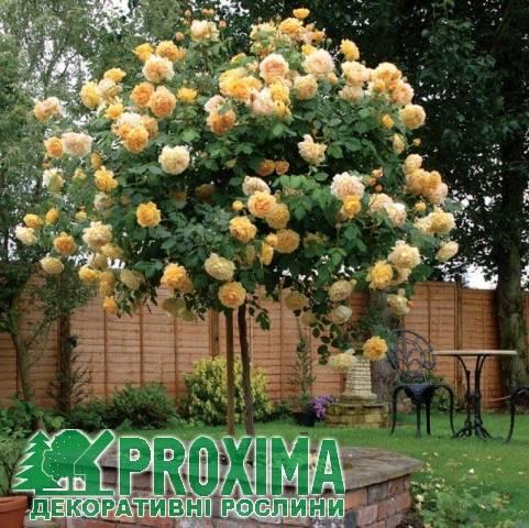 Английские розы – самый полный каталог сортов с описанием и фото