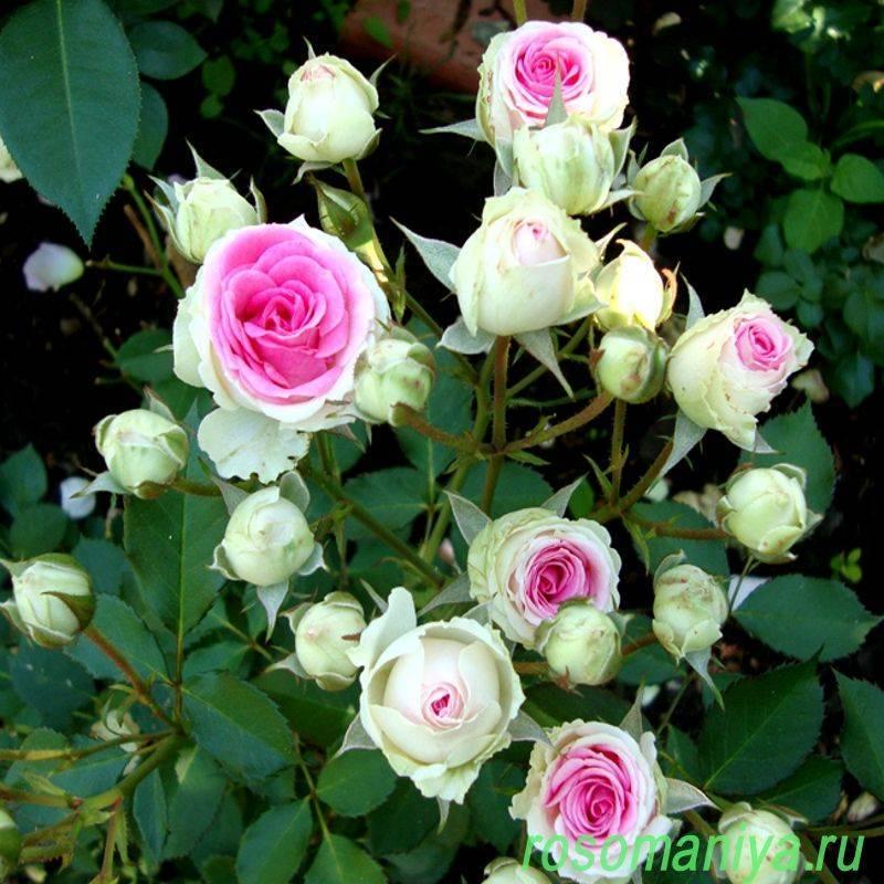Роза четыре сезона