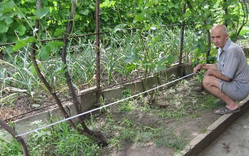 Как подвязать виноград правильно на шапалеру: 115 фото и видео инструкция подвязки виноградника от а до я