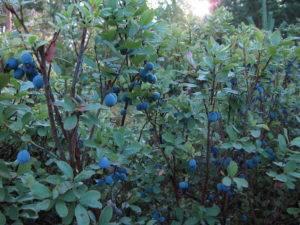 Черника – лечебные свойства ягоды, описание - народная медицина | природушка.ру