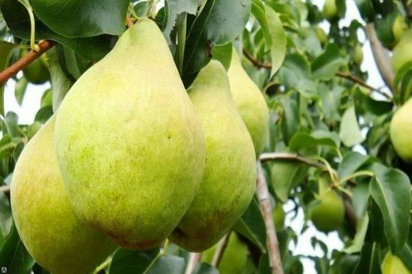 Сорт груши сильва: описание и характеристика, особенности успешного выращивания