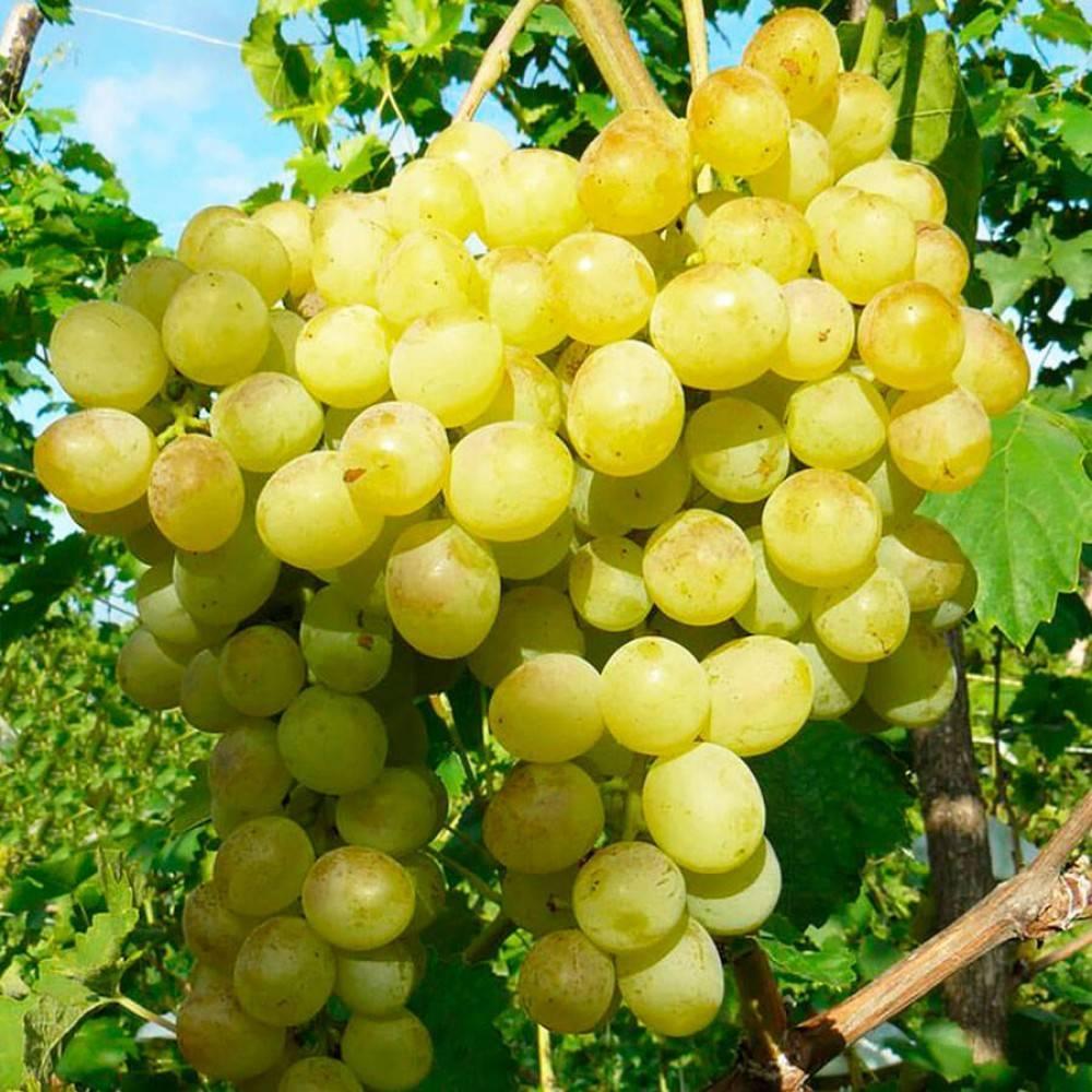 Виноград оригинал: описание сорта, его разновидности - черный, розовый и белый, фото