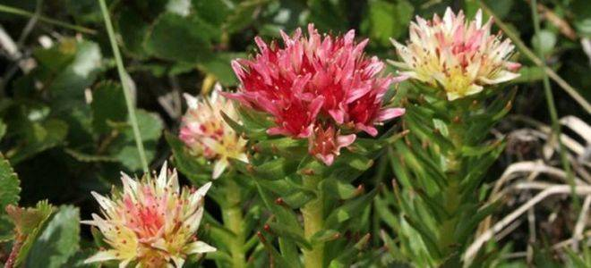 Растение красная щетка: лечебные свойства и противопоказания, как правильно пить?