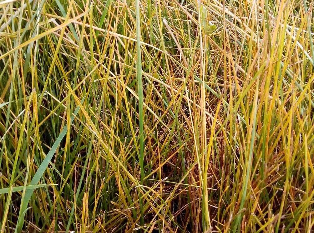Мятлик луговой: описание растения, применение