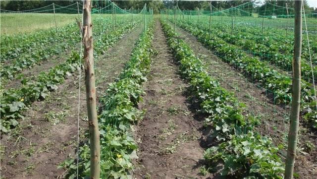 Капуста посадка и уход в открытом грунте, защита от вредителей