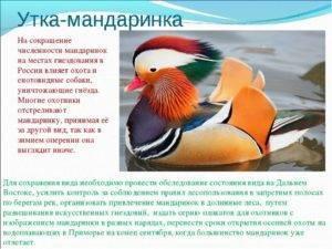 Мандаринка (птица) — википедия переиздание // wiki 2
