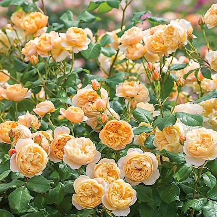 О розе roald dahl (роальд даль): описание и характеристики сорта роз остина