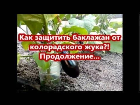 Как защитить баклажаны от колорадского жука. самый эффективный способ!