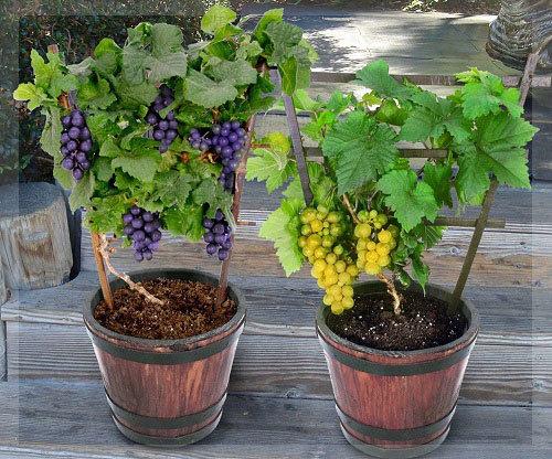 Как вырастить виноград из косточки?
