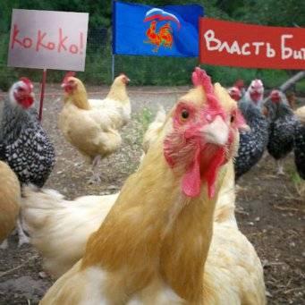 Курица наседка - вывод цыплят в домашних условиях квочкой