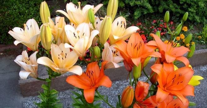 Об обрезке лилий во время цветения, на зиму, когда можно пересаживать