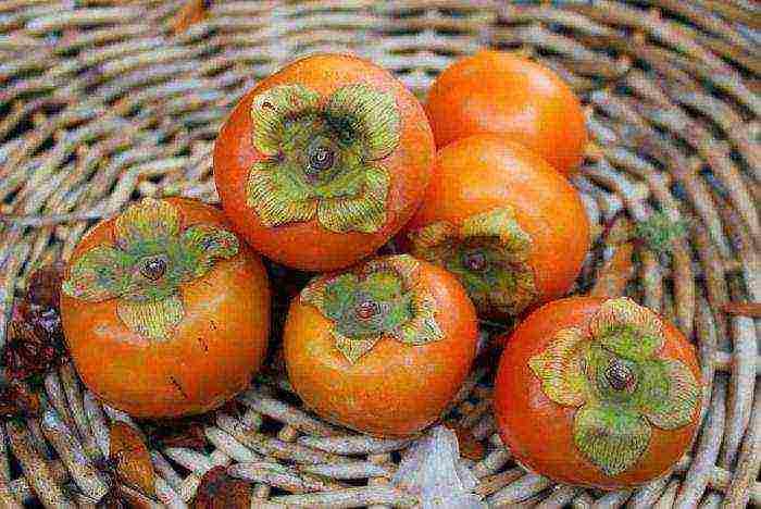 Комнатная хурма — особенности выращивания