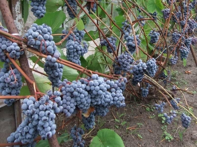 Виноград зилга - общая информация - 2020