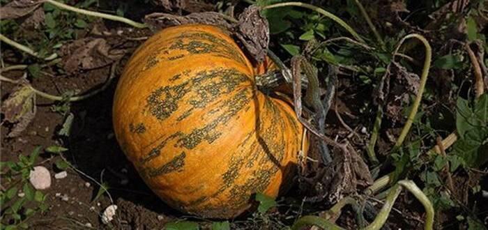 Подкормка тыквы — все тонкости применения органических и минеральных удобрений