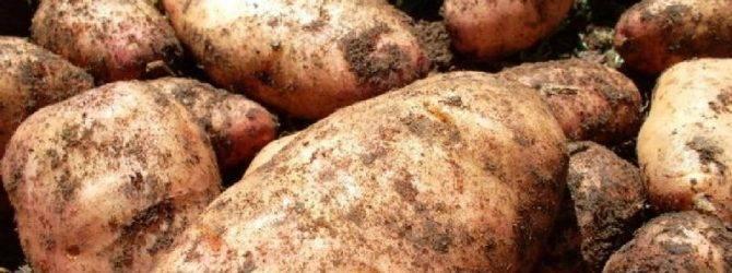 Картофель лапоть — описание сорта с фото, посадка и уход