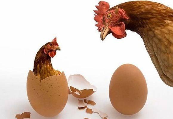 Почему куры едят свои яйца и что делать в этом случае