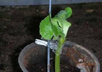 Прищипывание арбузов в открытом грунте: советы + схема формирования