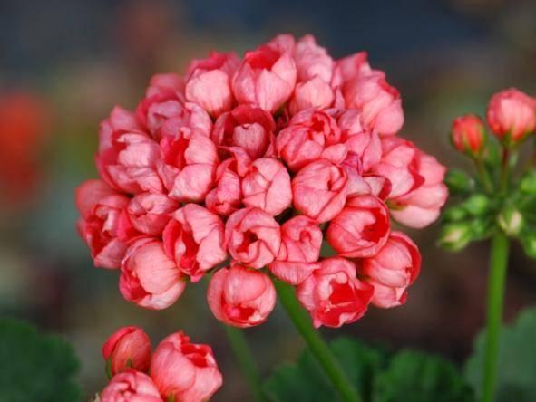 Герань тюльпановидная (29 фото): описание пеларгонии «марбаска тюльпан» и «эмма», red pandora и других сортов. размножение цветка семенами и другими способами. правила ухода в домашних условиях