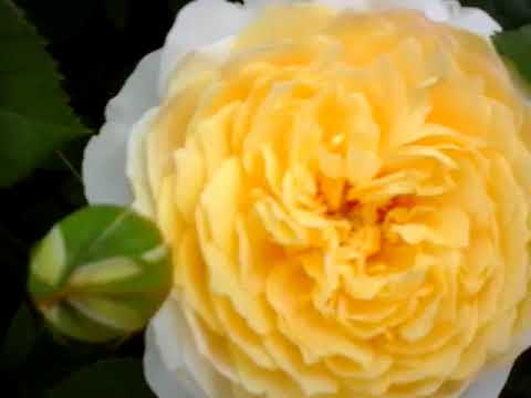 30 сортов роз дэвида остина с описанием и фото