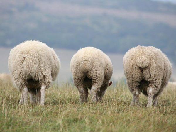 Поставщик ценного жира – курдючный баран
