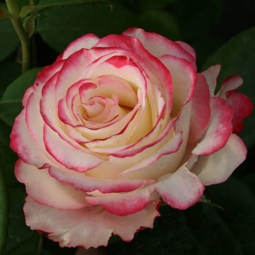 Правила ухода за свитнесс розой