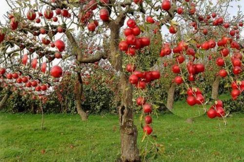 Как избавиться от мха и лишайников на плодовых деревьях