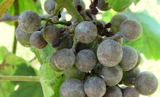 Милдью винограда: фото и причины возникновения, чем лечить, меры борьбы и препараты для обработки против болезни