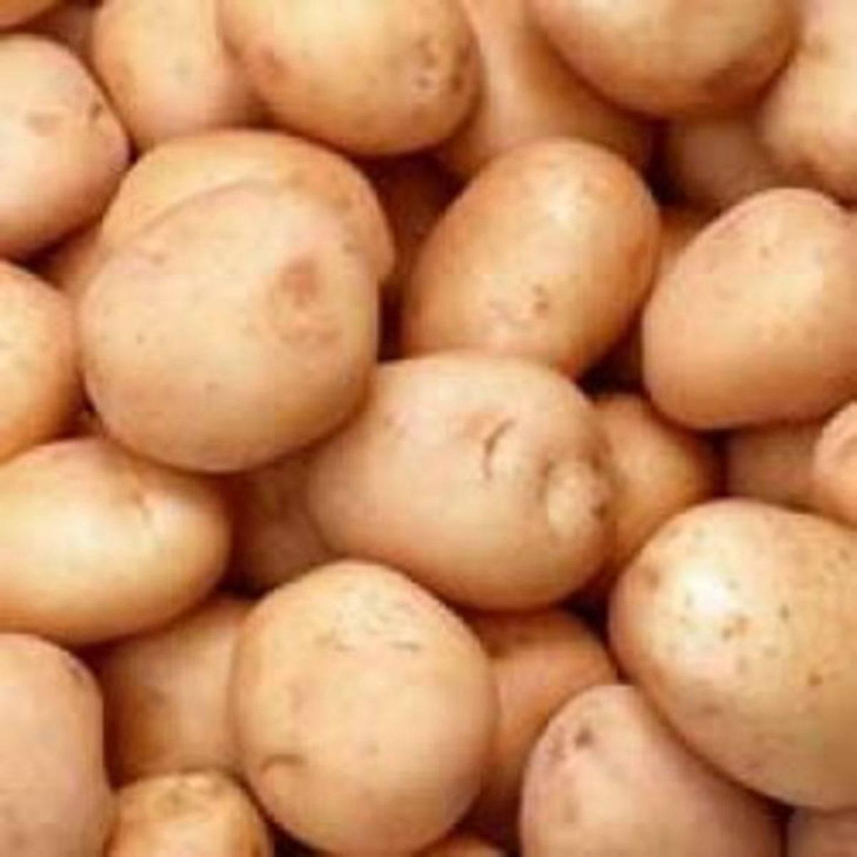 Сорта картофеля алена — агротехника выращивания культуры