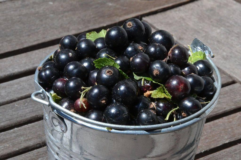 Выращивание черной смородины на кубани, проблемы ухода, вредители, болезни